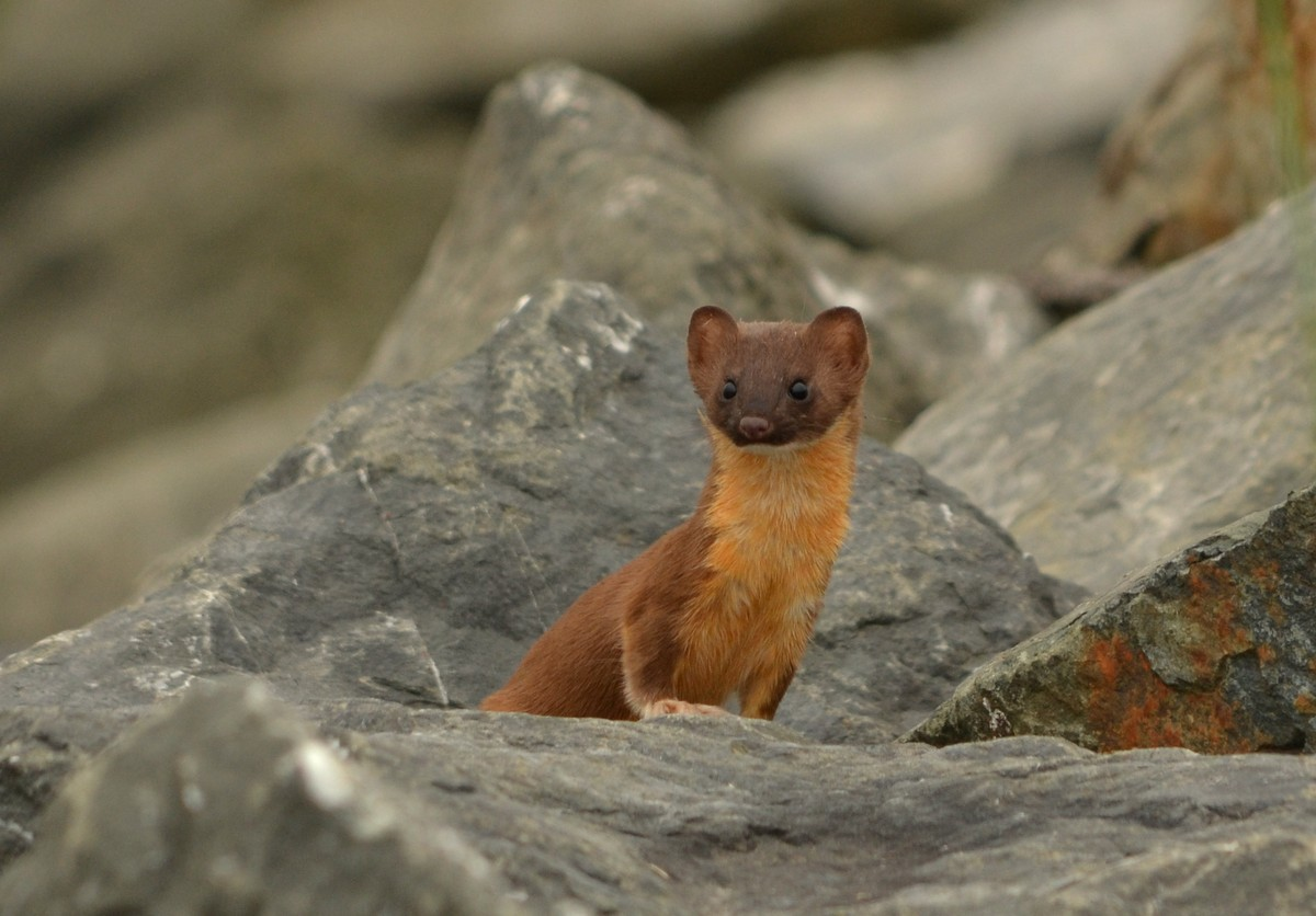 Can A Weasel Fit Through A Wedding Ring
