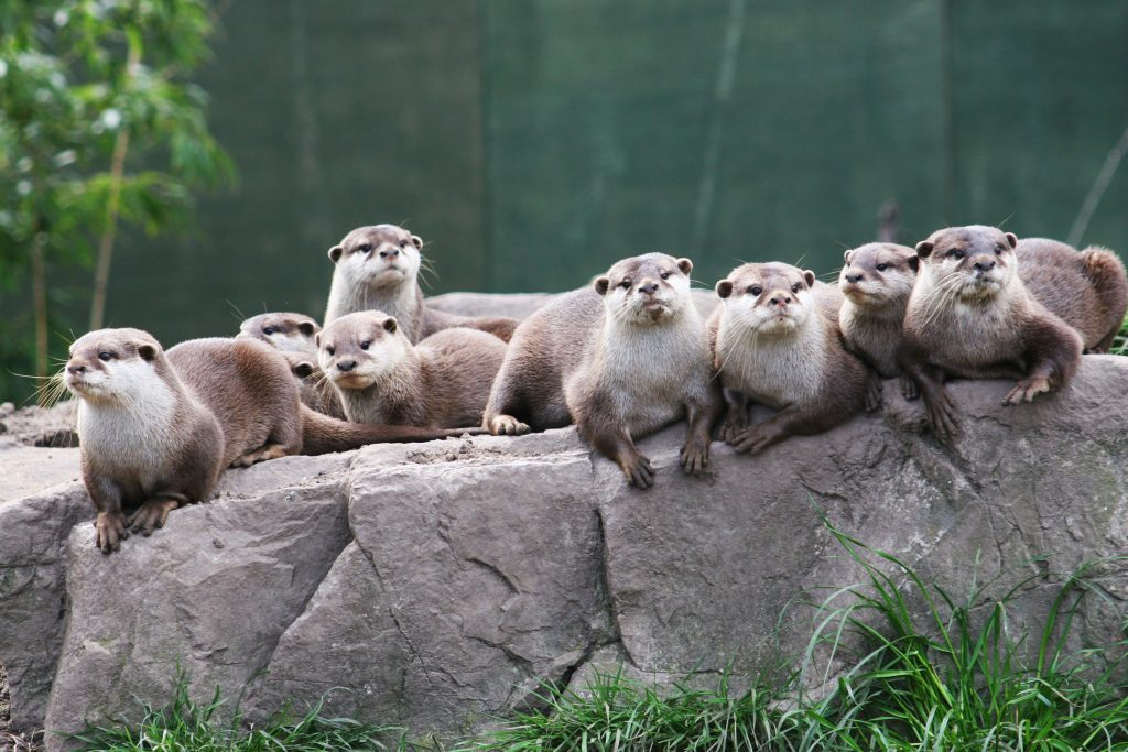 Dr Wong King Yin, business lecturer at Nanyang Technological University's Nanyang Business School, felt it might be a good idea to make the otters a special ambassador for Singapore as they enrich visitors' experiences and locals' daily lives.