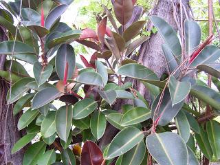 pohon karet jepang