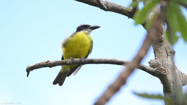 Boat-billed Flycatcher Megarynchus pitangua pitangua Neinei Pitanguá