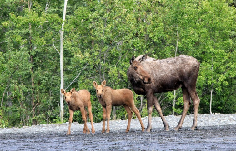 alaska moose with twins