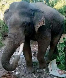 'Yala Chandiya' Nandimithra's trunk gets entangled in a tusk and ends up in a mess
