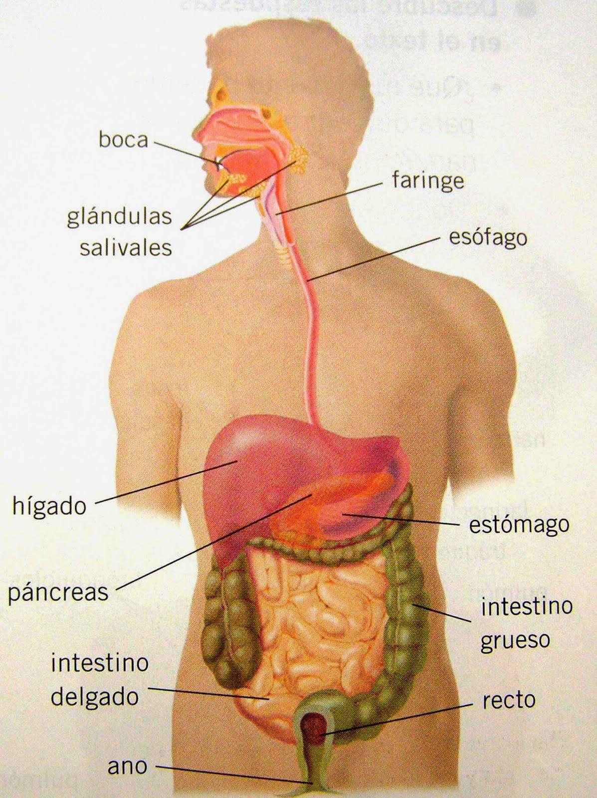 Perfecto Imagen De Los órganos Dentro Del Cuerpo Humano Ornamento ...
