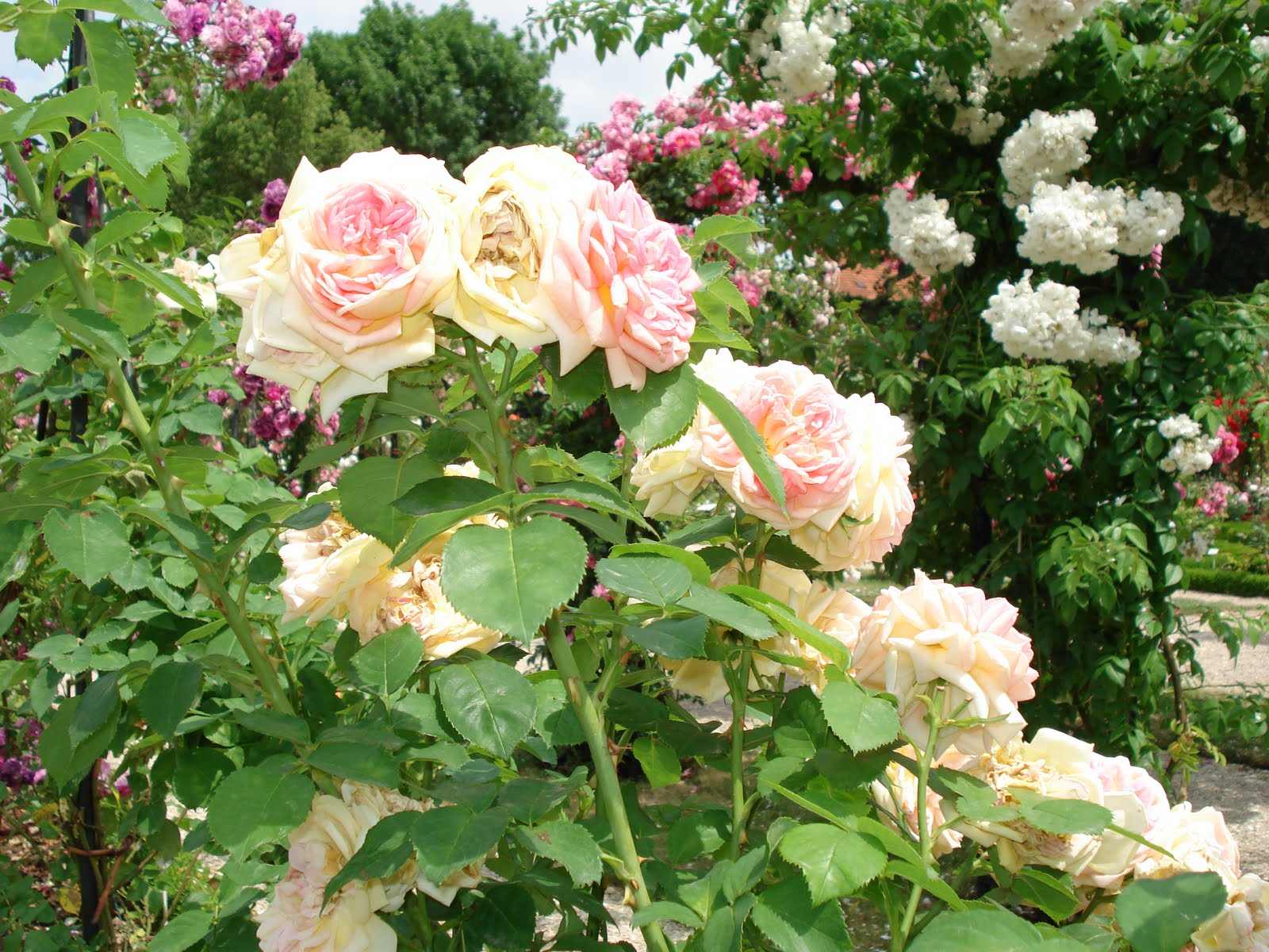 Roses In Garden: French Beauty Mark: The Rose Garden At L'Hay-les-Roses Paris
