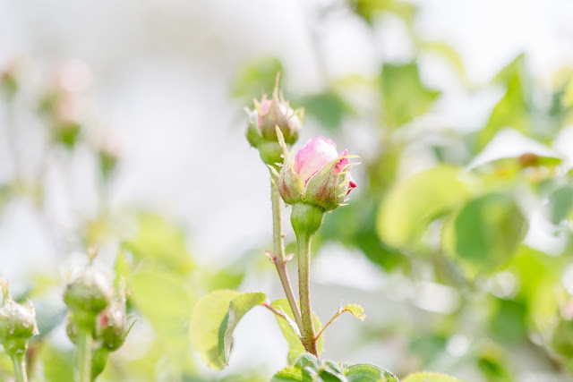 Gartenglück Ende Mai, Pomponetti, Constance Spry