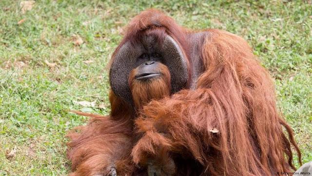 Viral Video Orangutan Merokok, Kebun Binatang Bandung Kembali Jadi Sorotan Dunia