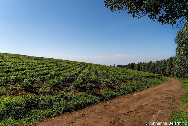Tea Field Road Volunteering in Kenya with Freedom Global