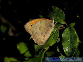 Coenonympha pamphilus - Fadet commun - Procris - Pamphile