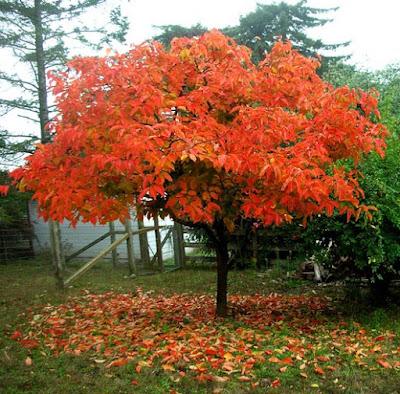 persimmon_tree.jpg