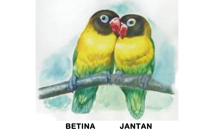 Cara Membedakan Lovebird Jantan Dan Betina Dengan Mudah Info Seputar Hobi