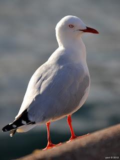 sydney gull