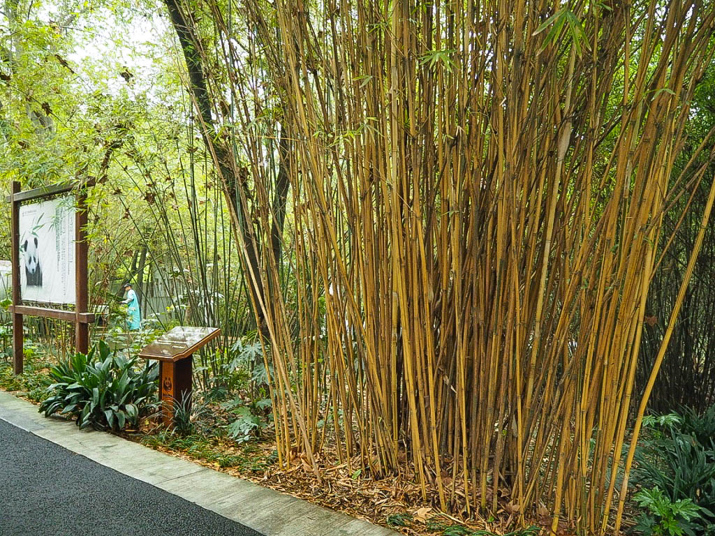 Bamboo at Chengdu Panda Sanctuary, China