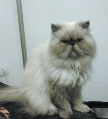 gato-persa-raza-personalidad-cuidados