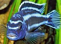 Jenis Ikan Hias Air Tawar  Aquarium Niasa