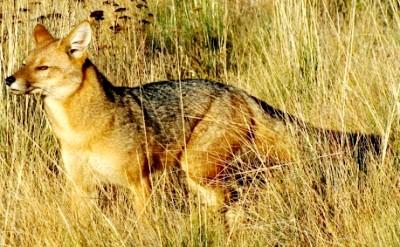 Foto de un zorro de perfil