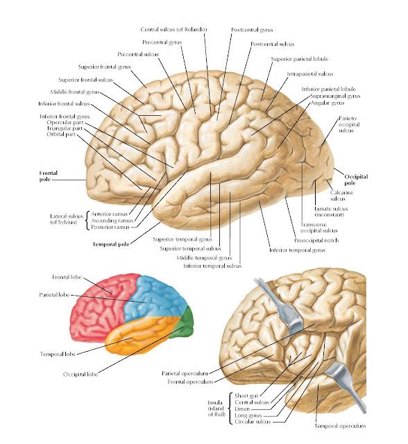 Brain: Lateral Views Anatomy