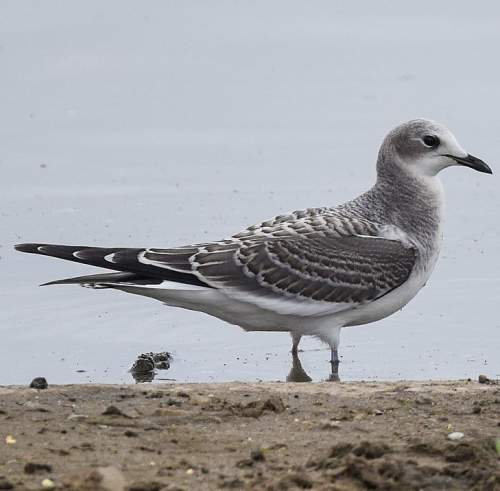 Birds of India - Sabine's gull - Xema sabini