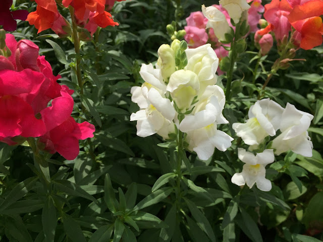 weiss blühende Sommerblüte