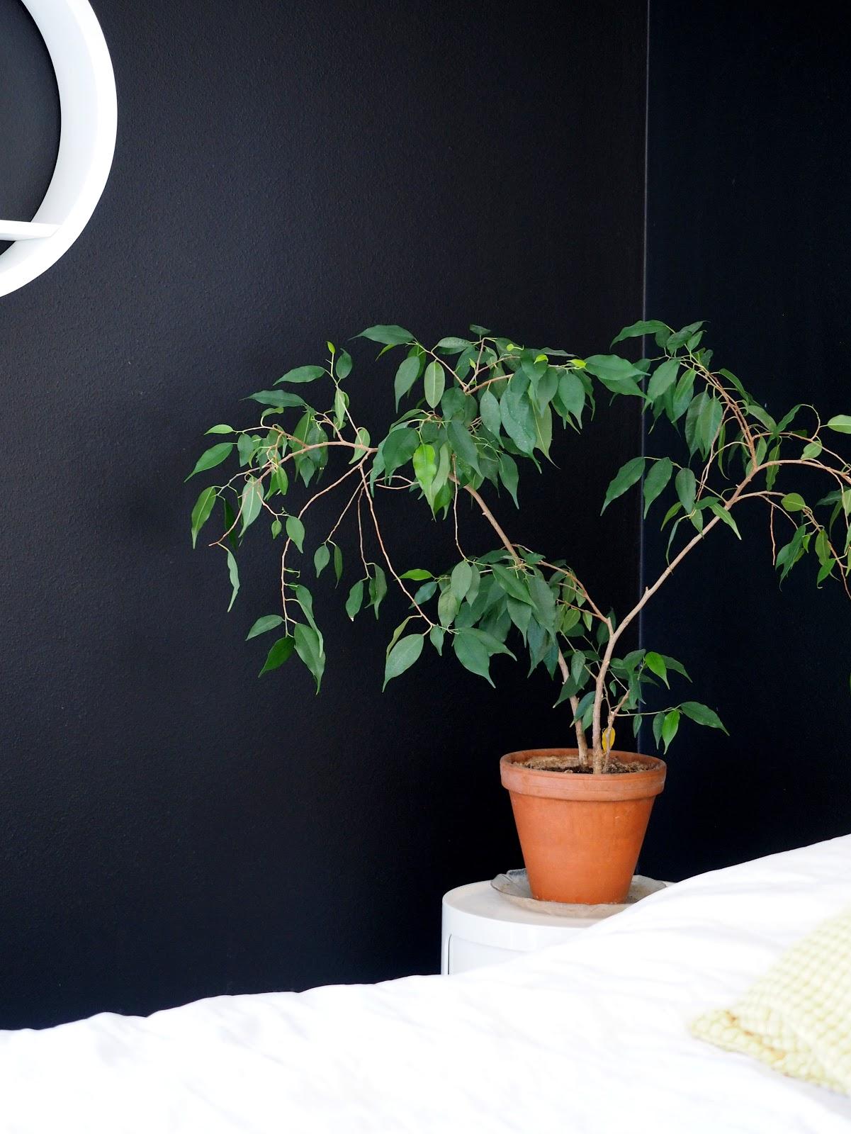musta seinä, viherkasvi