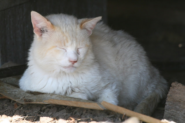 feral tomcat Whitey Cat asleep