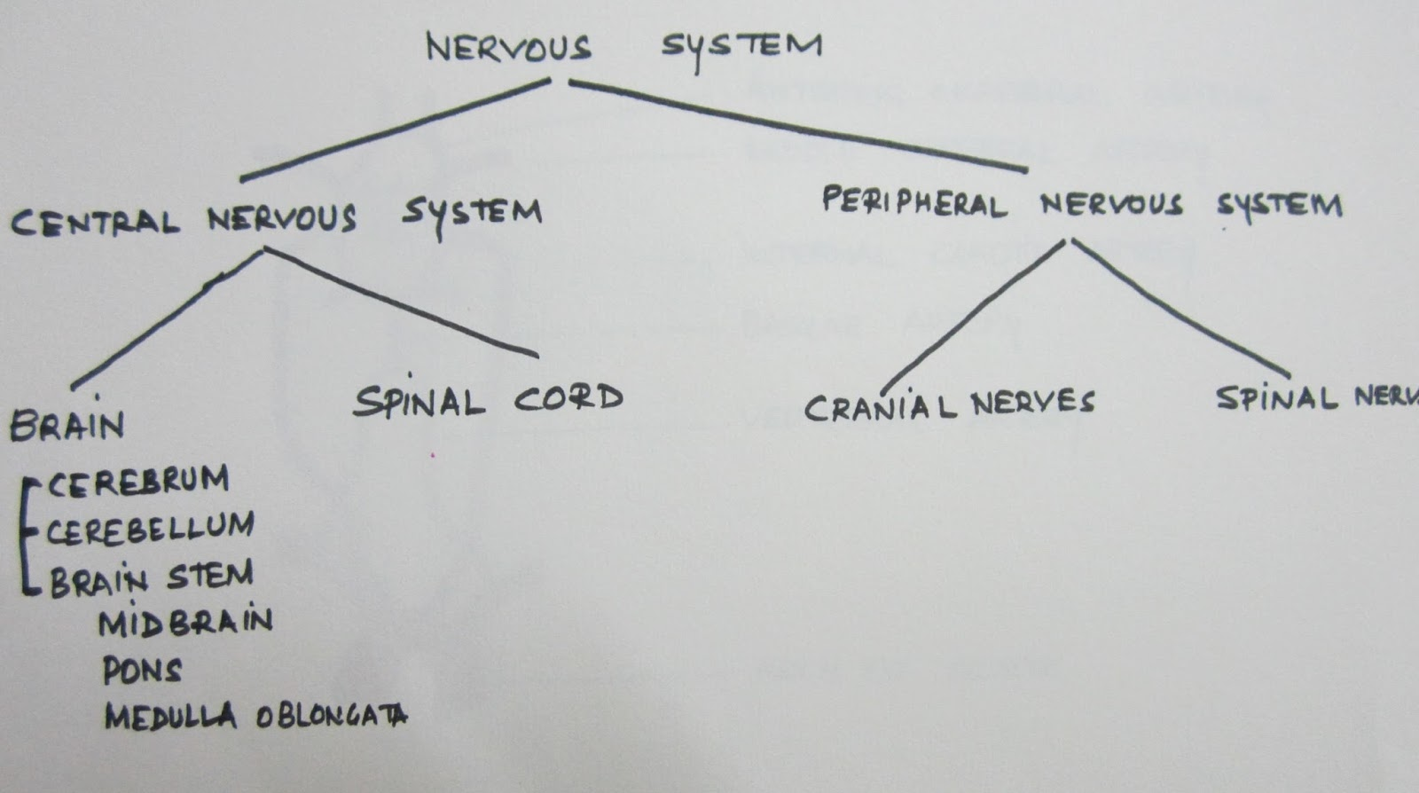 Brain mind a to z basic neuroanatomy for the beginner brain cns consists of brain spinal cord pns consists of cranial nerves spinal nerves the peripheral nervous system consists of 12 pairs of cranial nerves ccuart Gallery