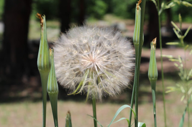 Dandelion Seeds, Living From Glory To Glory Blog...