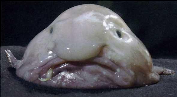 blobfish-السمكة-الفقاعة