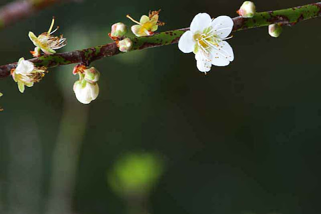 white flower, plum blossom, branch, tree