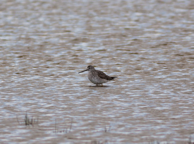 Greater Yellowlegs, Titchfield Haven
