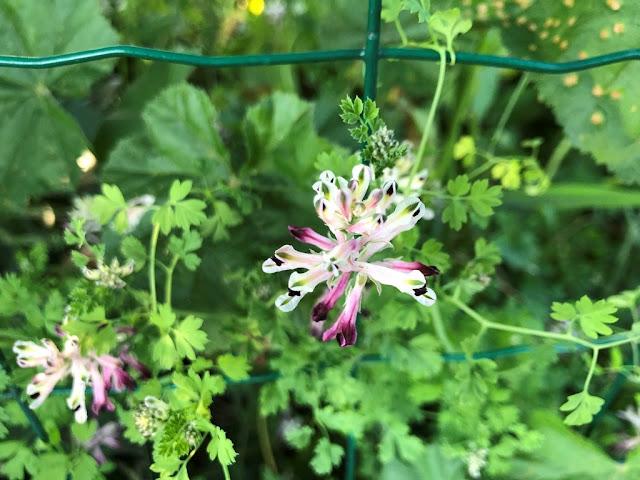 Fumária (Erva-Moleirinha) - Flores Silvestres