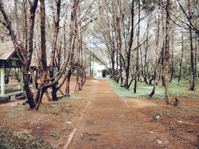 Pohon cemara