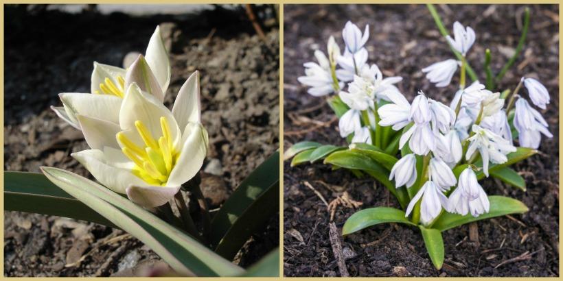 Tulipa biflora - Scilla