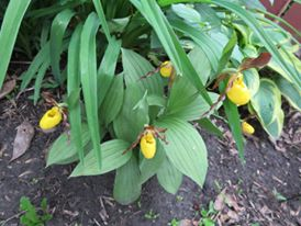 yellow lady slipper, flower
