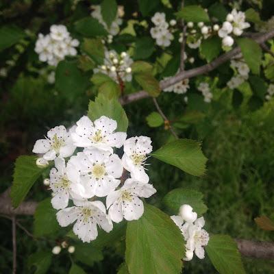 Crataegus Compacta Spring Blossom at Arnold Arboretum