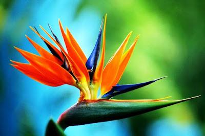 Bunga Tercantik di Dunia-Bird of Paradise-Mirip Seperti Burung
