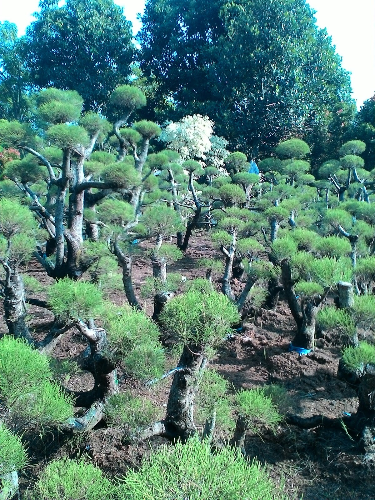 Pohon Cemara Udang Pohon Bonsai Cemara Udang Cemara Udang