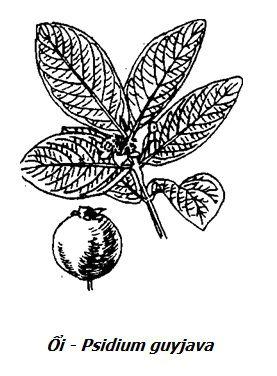 Hình vẽ Ổi - Psidium guyjava - Nguyên liệu làm thuốc Chữa Đi Lỏng-Đau Bụng