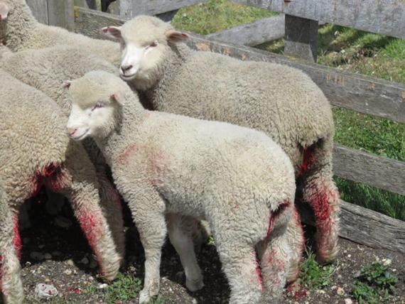 keadaan domba kambing