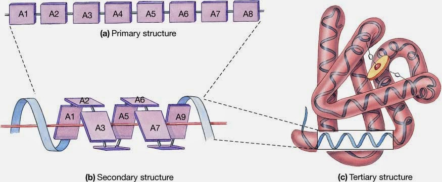 13 Protein  Primary Secondary Tertiary and Quaternary structure  Biology Notes for A level