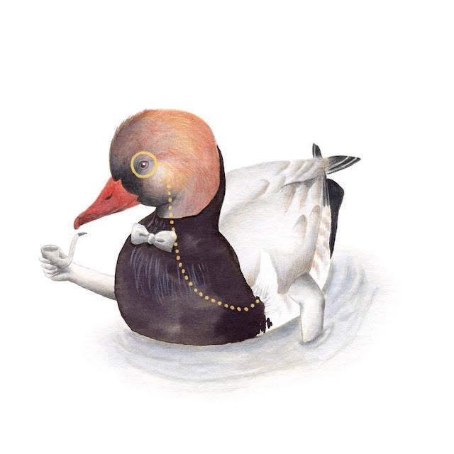 ilustración de pájaros, pato colorado, aves de la albufera, netta rufina, ilustración de aves, aves acuáticas, garza, Inktober, Inktober 2017,