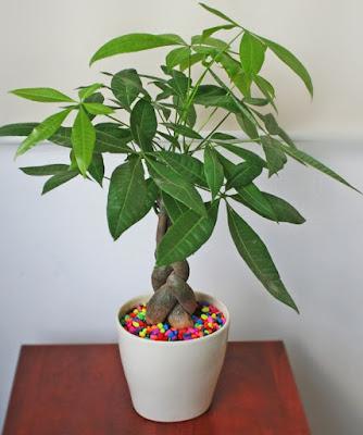Mẫu cây Kim Ngân đặt trong phòng làm việc