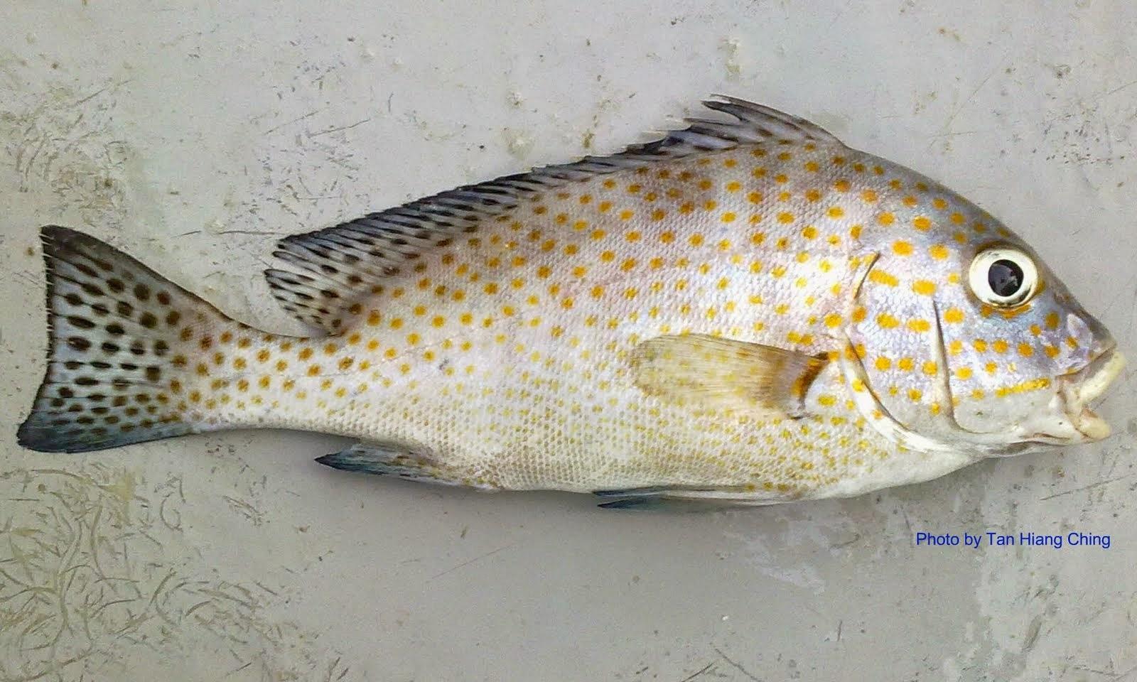 Resepi: Ikan Kaci Goreng Beraroma (Resepi Simple2 Je) | Leyanita Craft Studio