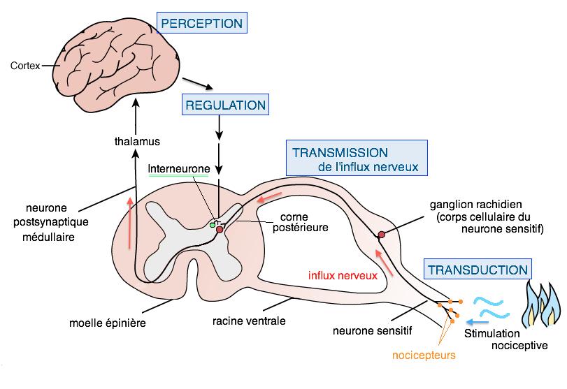 physiologie douleur infirmier mécanisme