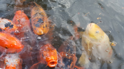 (Almost) Wordless Wednesday - hungry fish & a turtle...