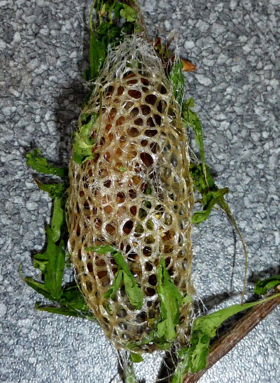Caligula japonica cocoon