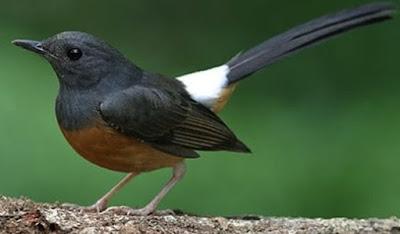 Mengetahui Ciri Ciri Burung Murai Batu Medan Betina Paling Akurat Dan Terlengkap