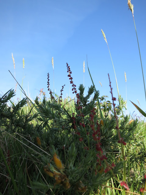 Grass in flower, red flowers up length of stalks and ground level gorse.
