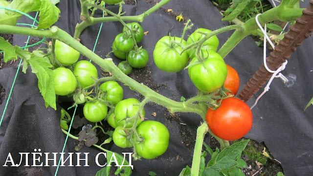 томат Огонёк, томаты, помидоры, сорта томатов, красные томаты, аленин сад