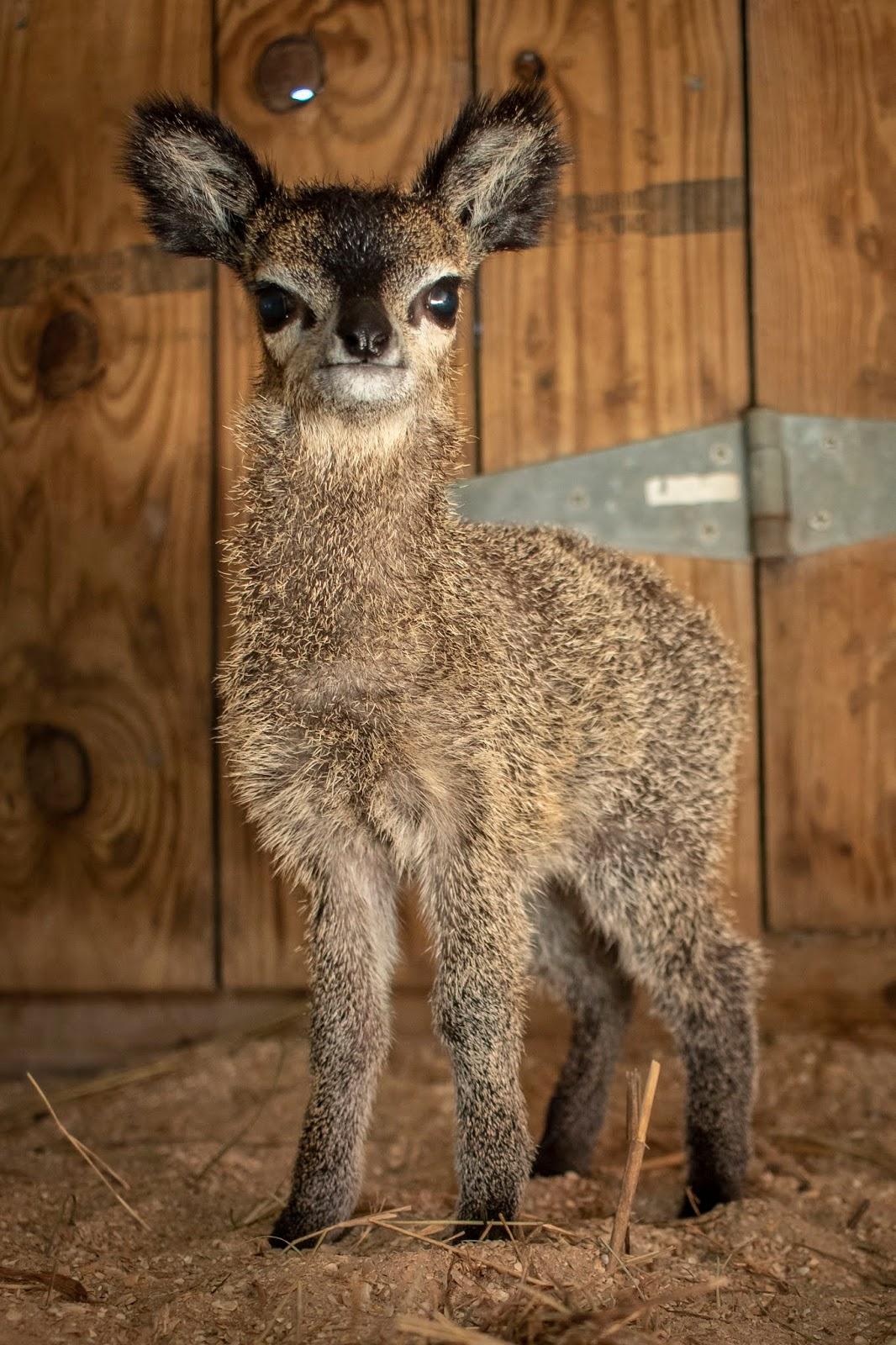 Tiny Rock Star Antelope Born At Brevard Zoo
