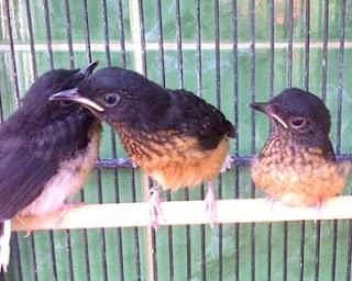 Burung Murai Batu - Cara Membedakan Burung Murai Batu Jantan Bakalan dan Burung Murai Batu Betina Bakalan - Penangkaran Burung Murai Batu